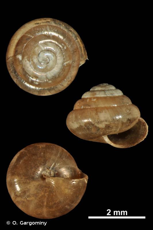 Euconulus praticola