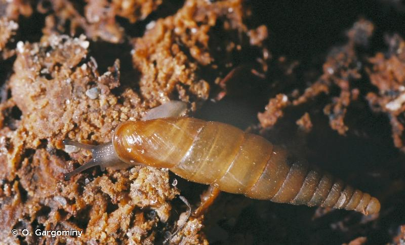 Cochlodina fimbriata