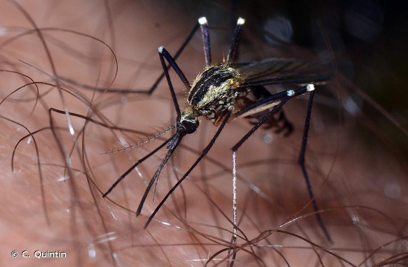 Aedes geniculatus