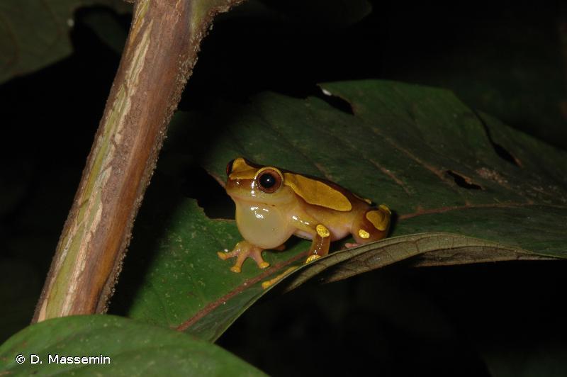 Dendropsophus leucophyllatus