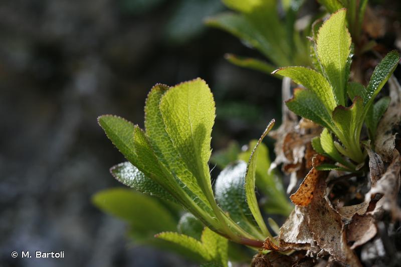 Arctostaphylos alpinus