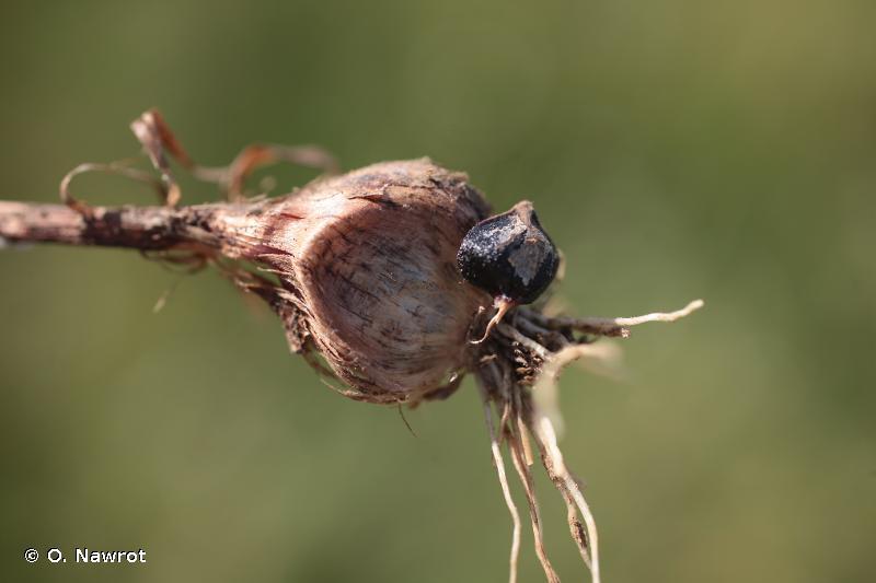 Allium rotundum