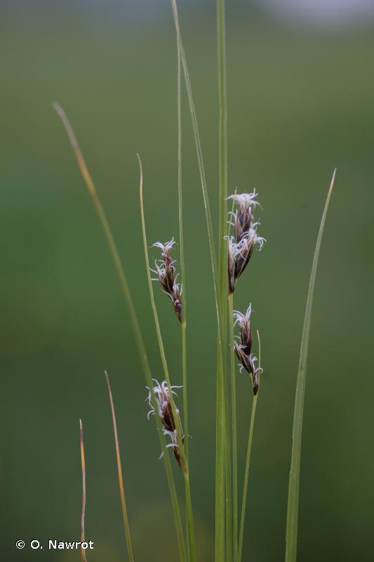 Carex divisa