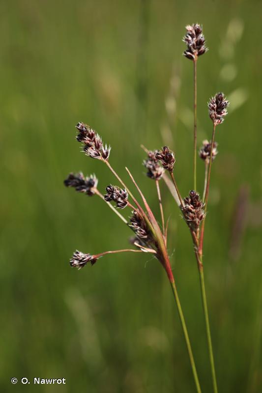 Luzula multiflora subsp. multiflora