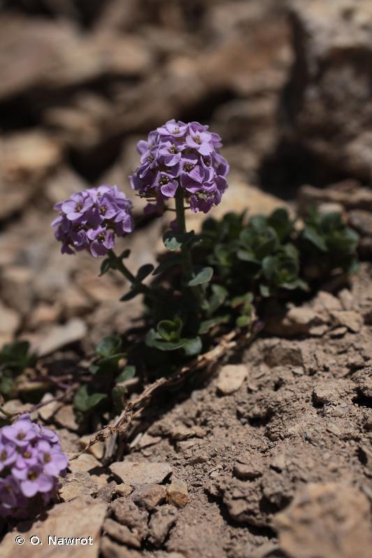 Noccaea rotundifolia