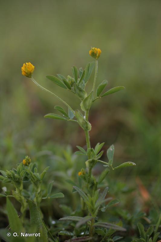 Trifolium patens