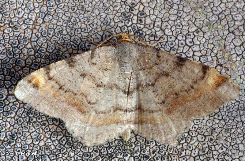 Macaria liturata