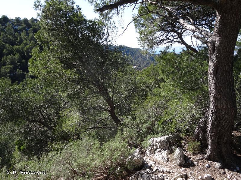 9540 - Pinèdes méditerranéennes de pins mésogéens endémiques - Cahiers d'habitats