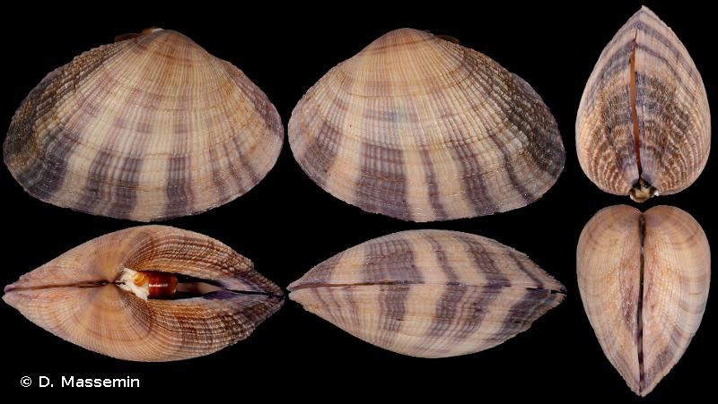 Mauritiana f. albiflora (Petrbock, 1932) à confirmer ou infirmer 160836