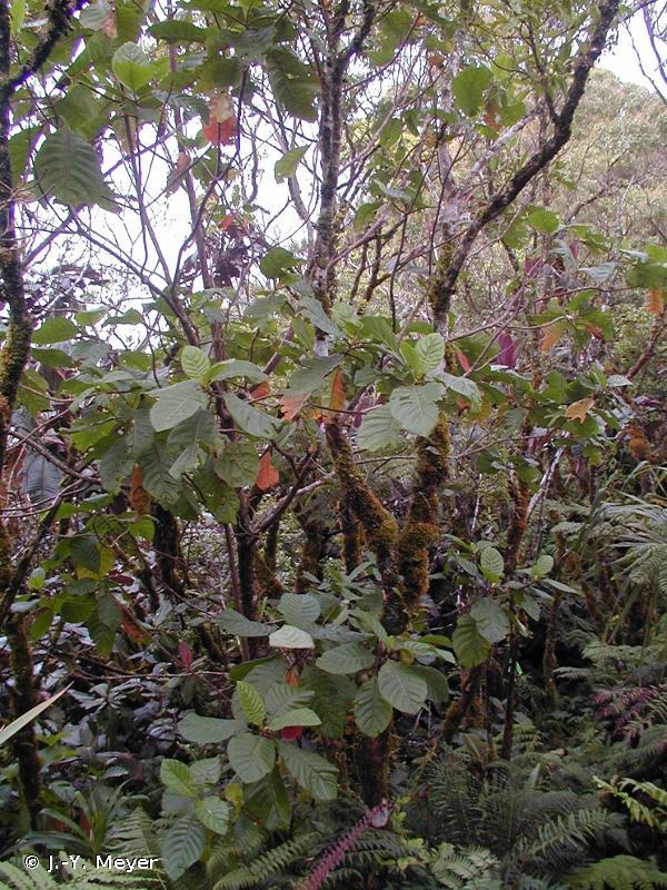 Cinchona pubescens
