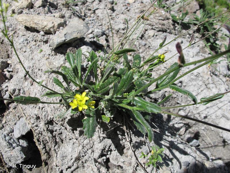 Biscutella arvernensis