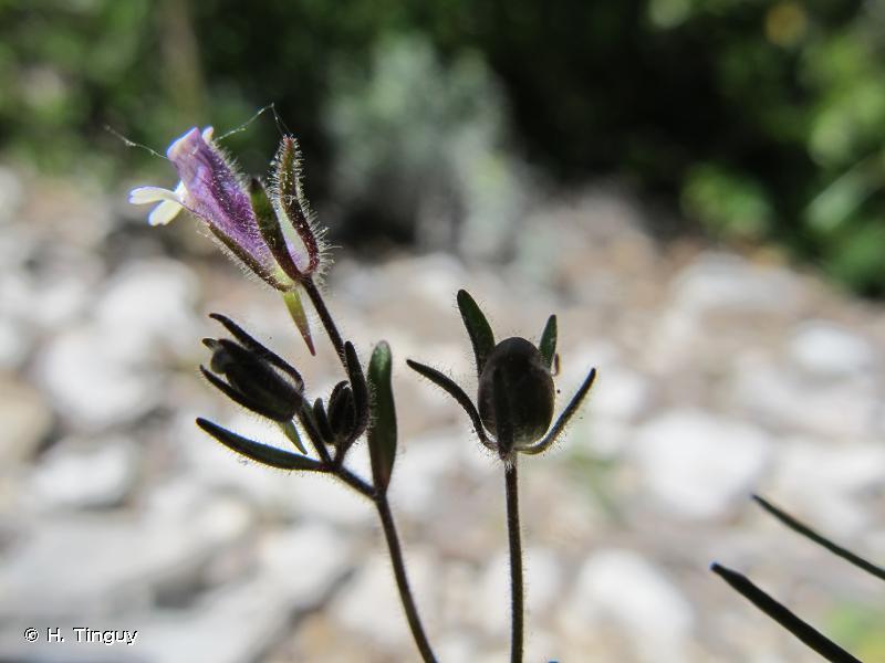 Chaenorrhinum rubrifolium