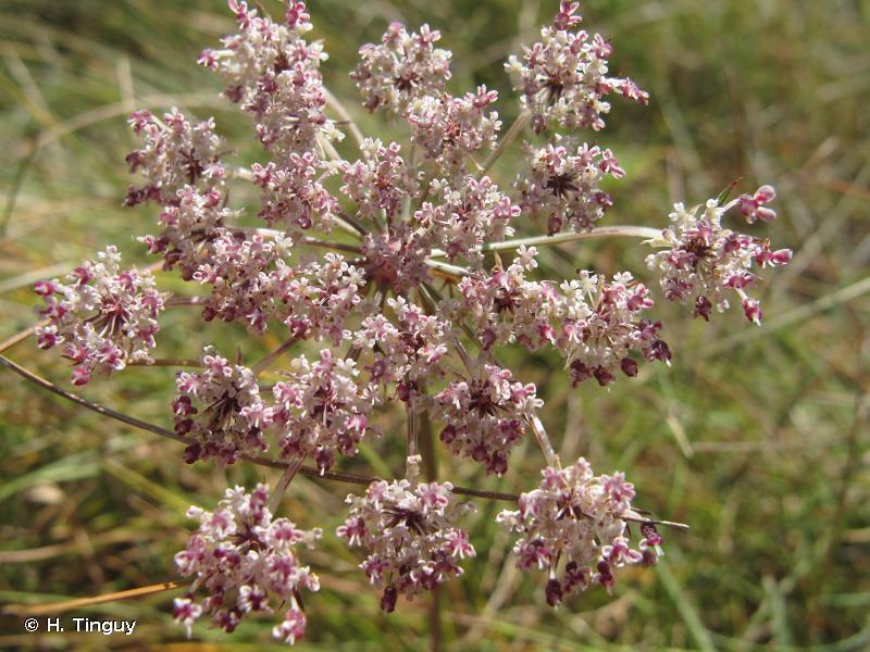 Daucus carota subsp. gadecaei