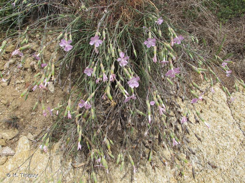 Dianthus longicaulis