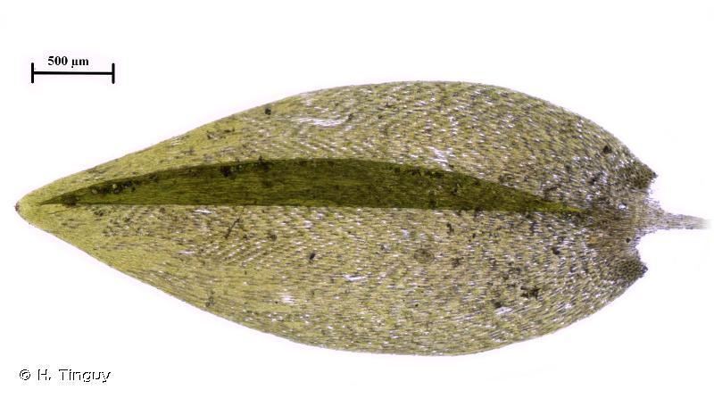 Fontinalis antipyretica