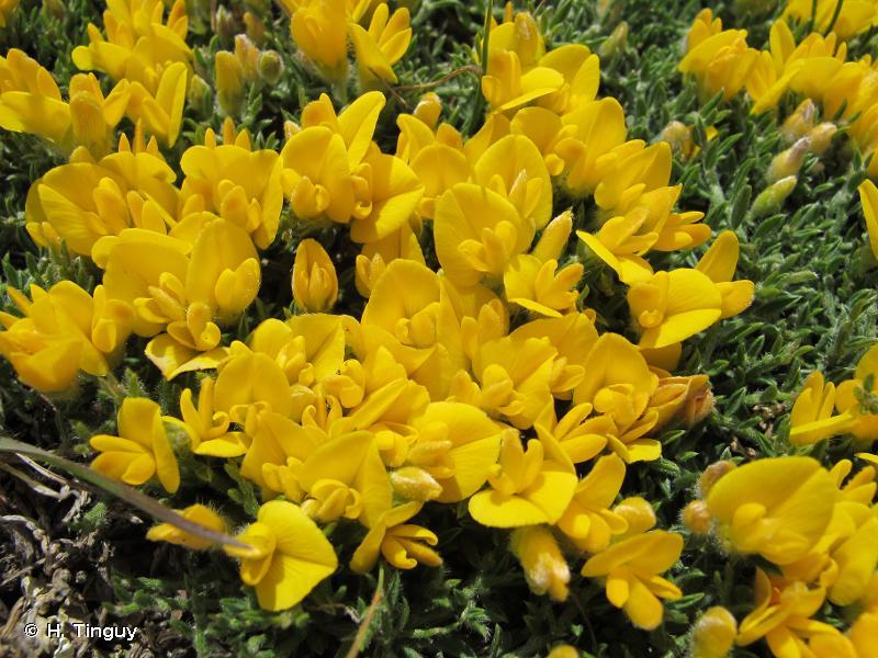 Genista pulchella subsp. villarsiana