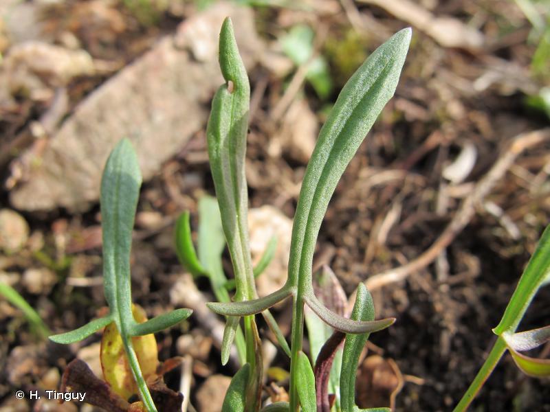 Rumex acetosella subsp. acetosella