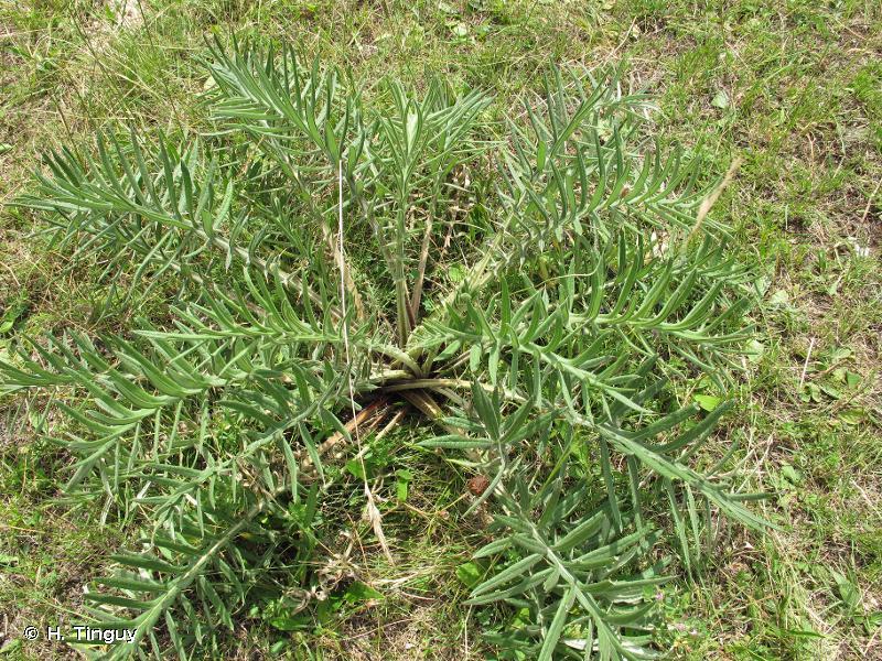 Cirsium morisianum