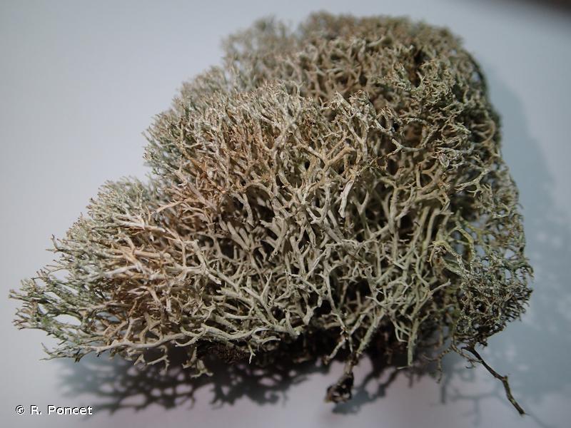 Cladonia rangiformis