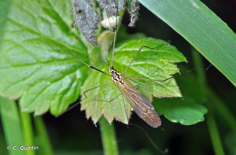 Nephrotoma appendiculata