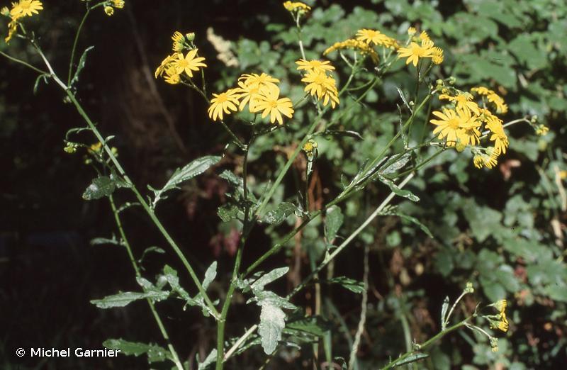 Jacobaea aquatica