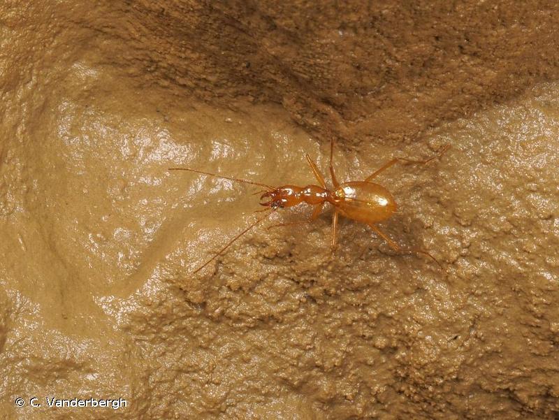 Aphaenops bucephalus
