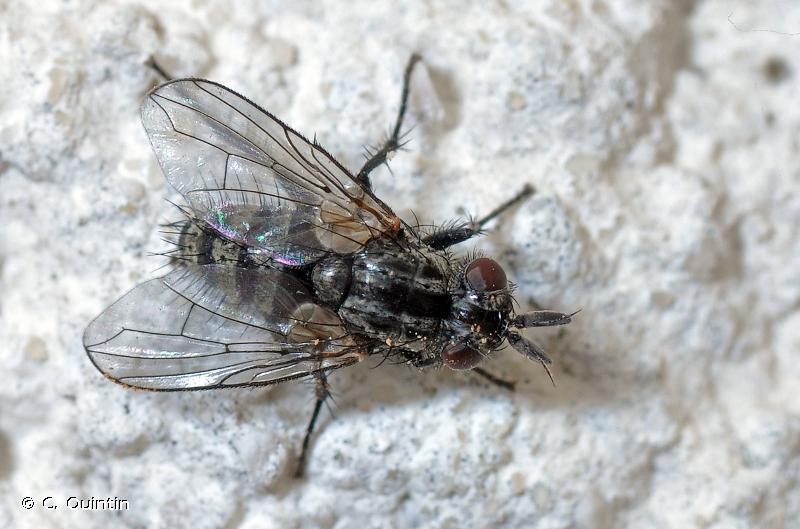 Triarthria setipennis