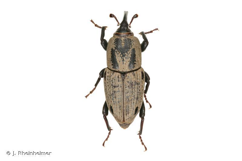 Sphenophorus venatus