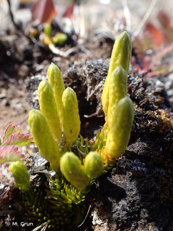 Lycopodium magellanicum