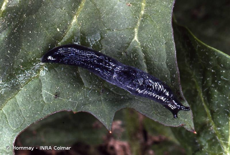 Deroceras rodnae