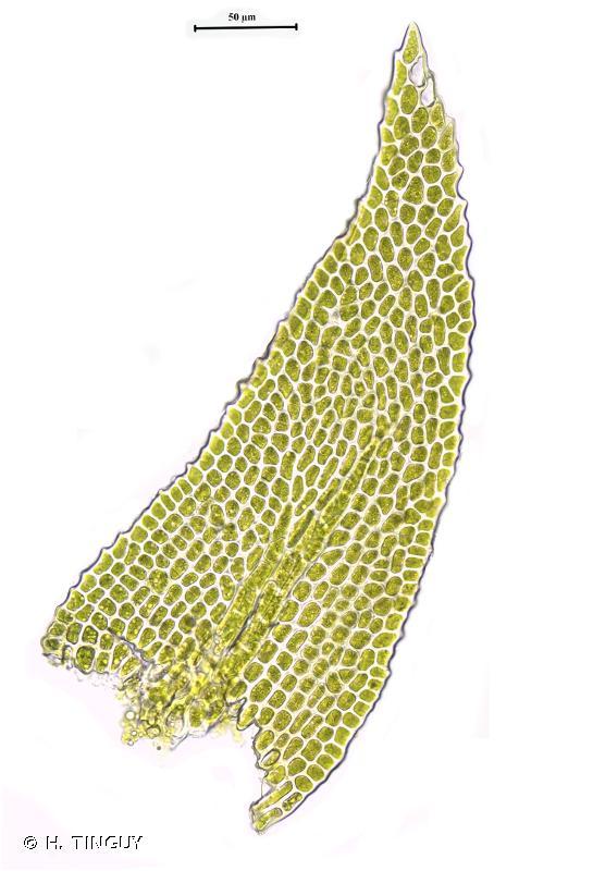 Heterocladium flaccidum