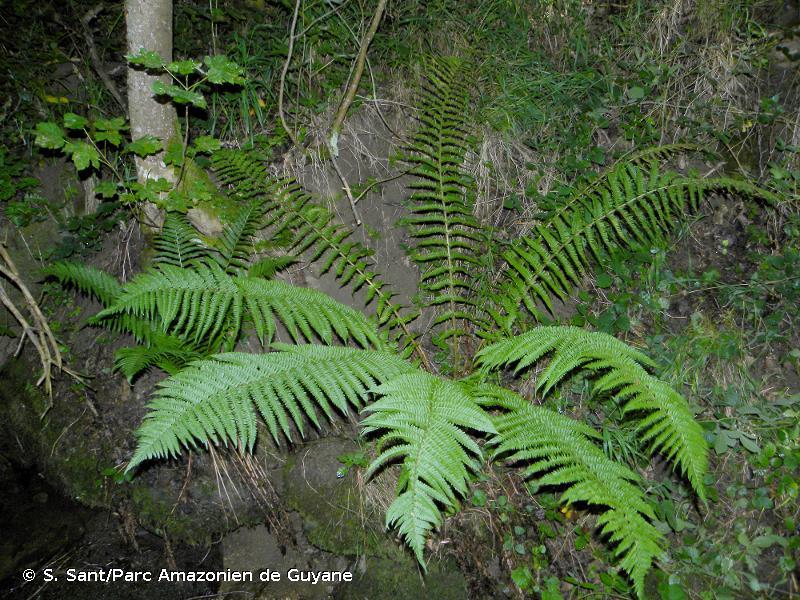 Dryopteris x complexa subsp. complexa