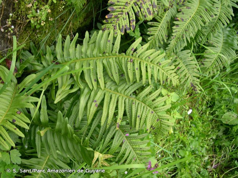 Polypodium x shivasiae