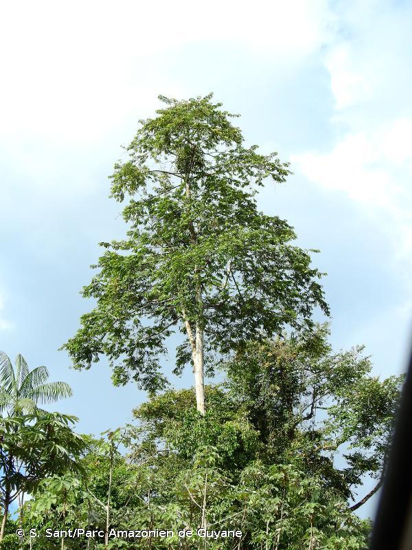 Virola surinamensis