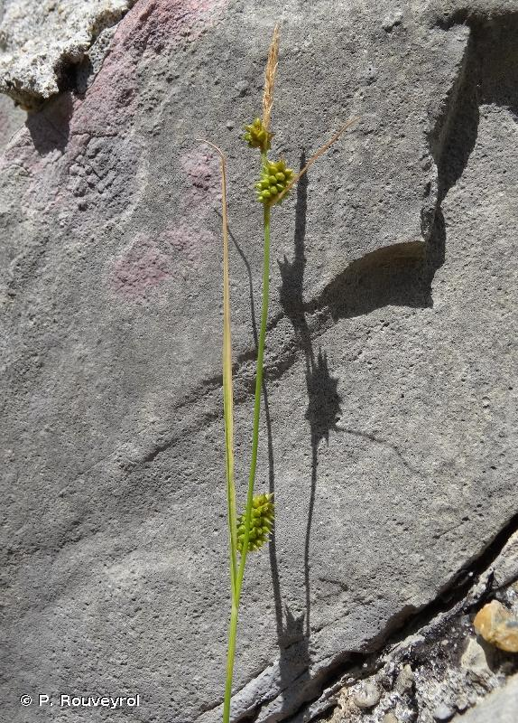Carex mairei