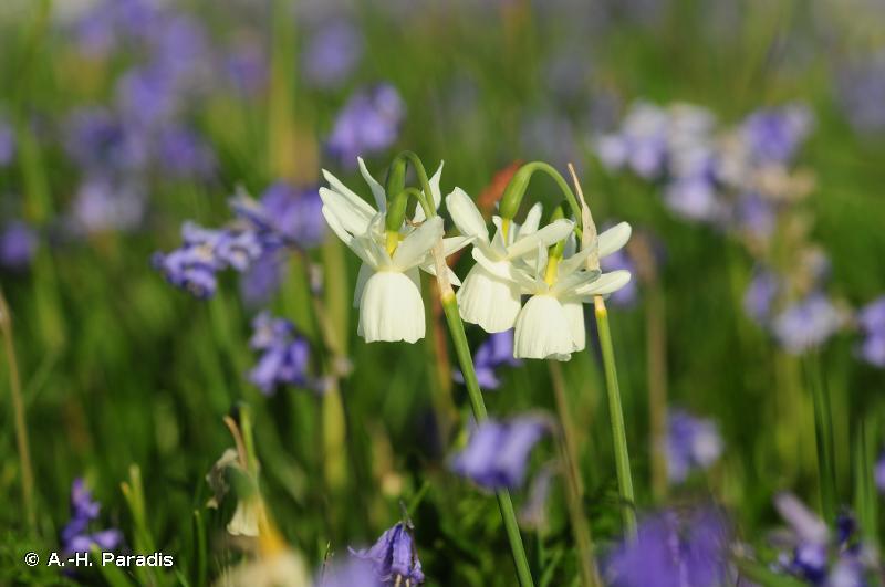 Narcissus triandrus var. loiseleurii