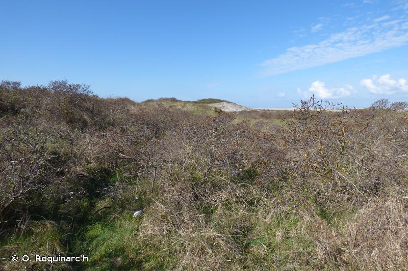 16.251 - Fourrés dunaires à Argousier - CORINE biotopes