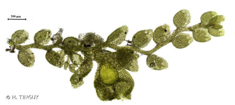 Myriocoleopsis minutissima subsp. minutissima