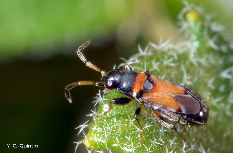Ischnocoris hemipterus
