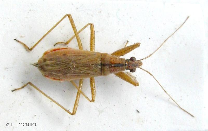 Nabis ericetorum