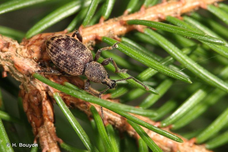 Otiorhynchus pupillatus