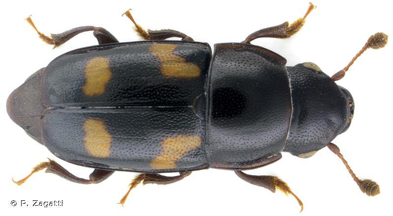 Glischrochilus quadrisignatus