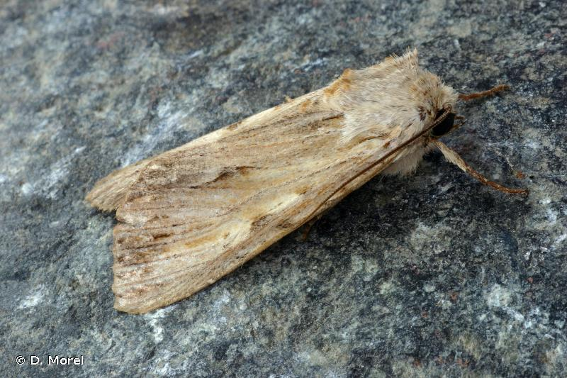 Apamea lithoxylaea