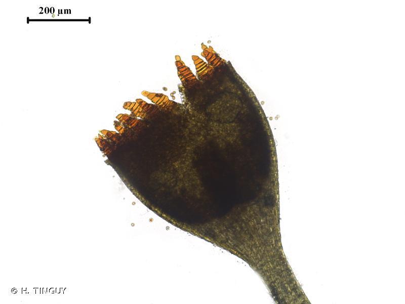 Seligeria pusilla