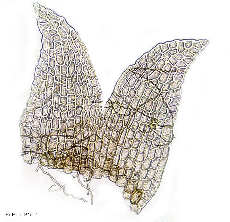 Anthelia juratzkana