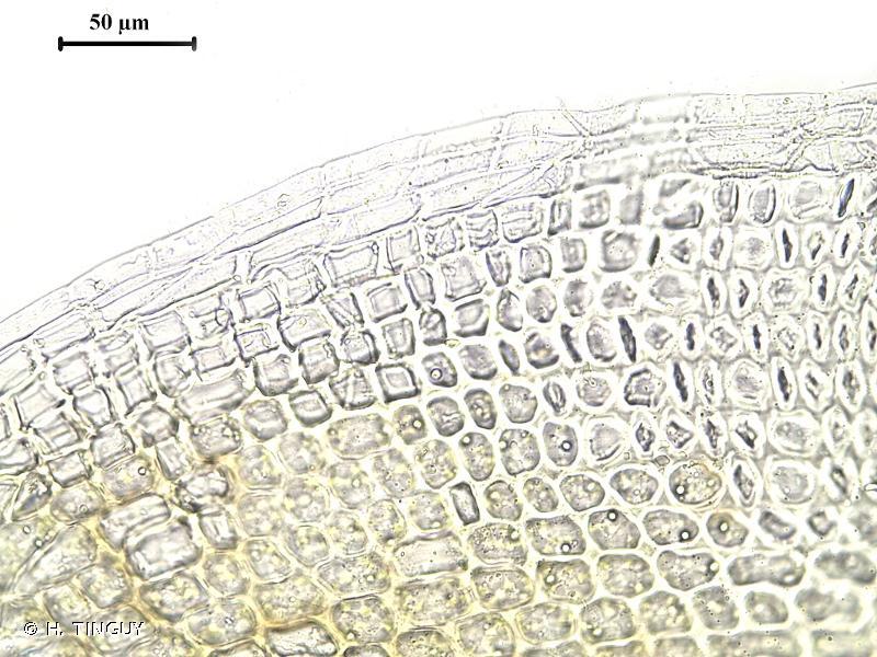 Crossidium squamiferum
