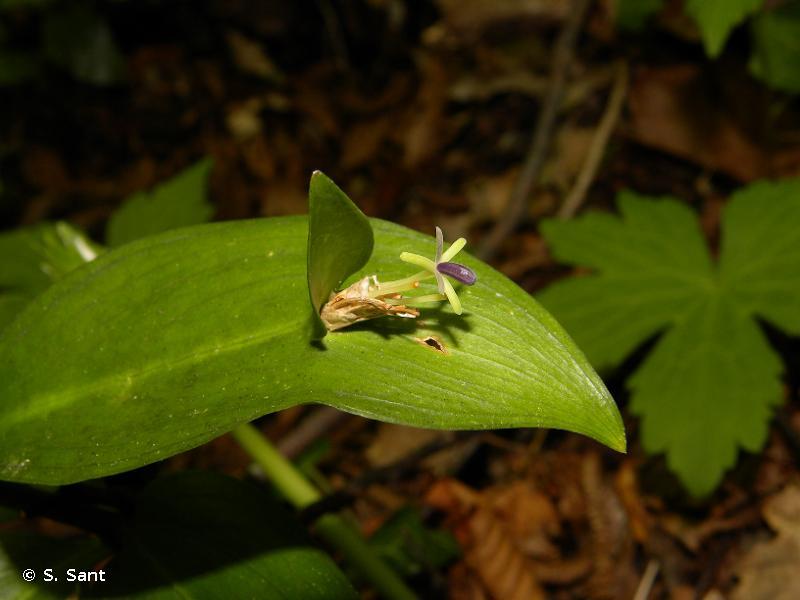 Ruscus hypoglossum