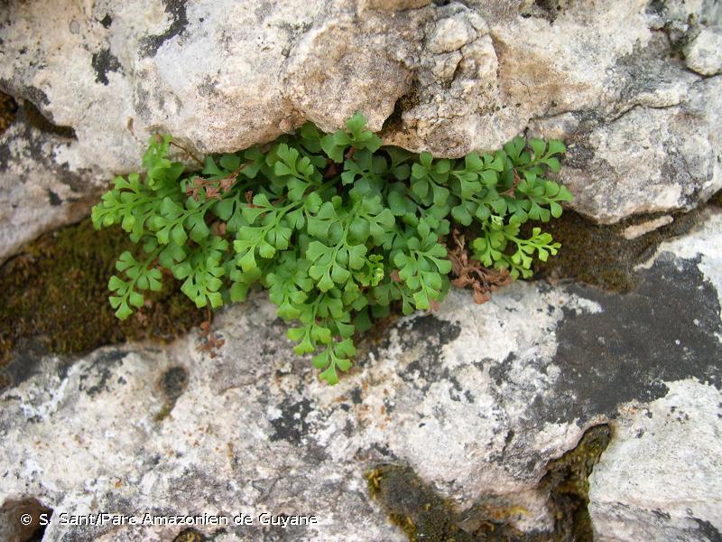 Asplenium ruta-muraria subsp. dolomiticum