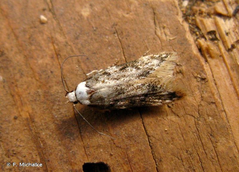 Endrosis sarcitrella