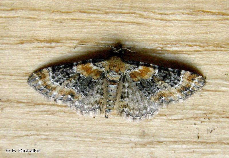 Eupithecia pulchellata